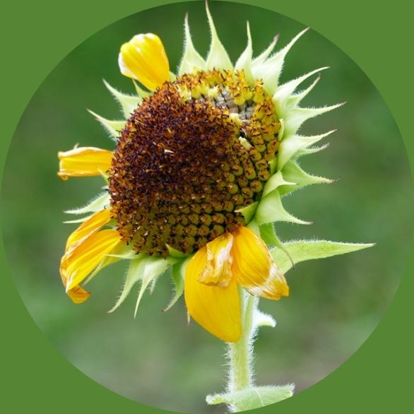 2020 sunflower c